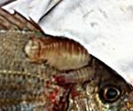 Parasite du poisson, deux Anilocres sur le dos de la Dorade
