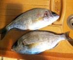 Dorades pêchées en Rance