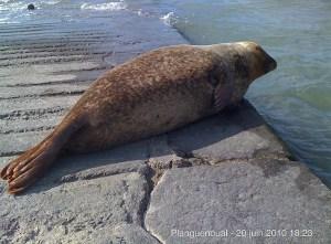 Un veau marin sur la cale de Mordreuc